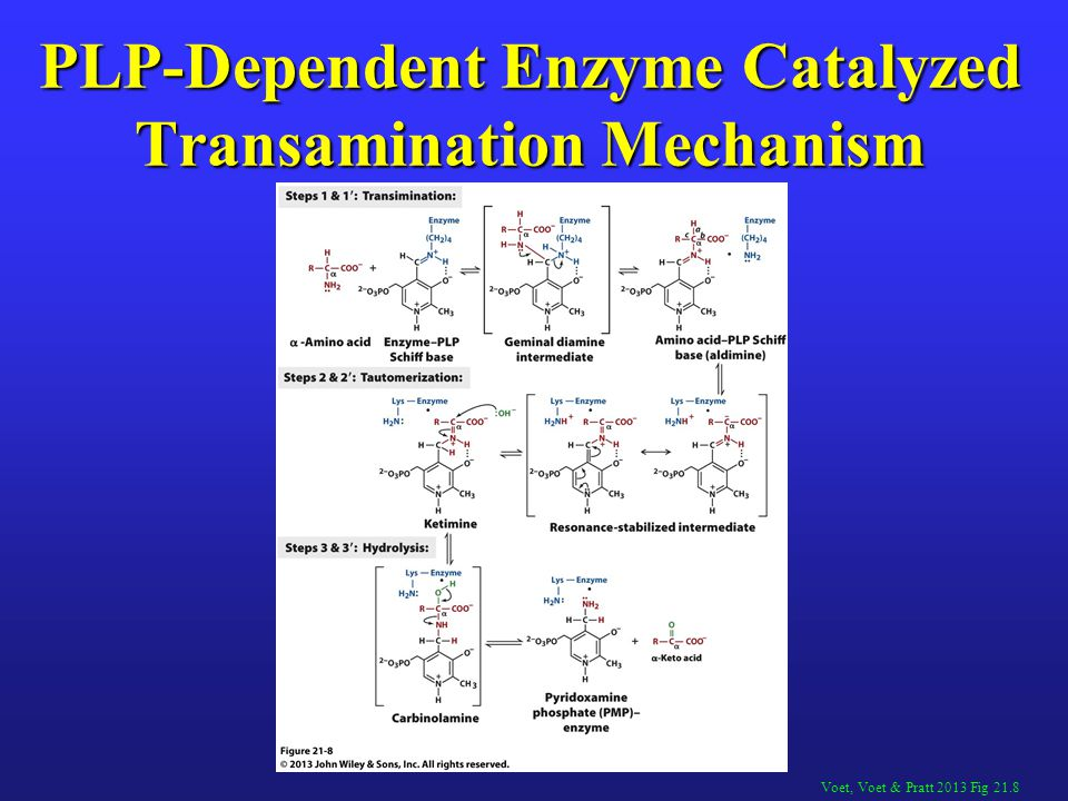 PLP-Dependent Enzyme Catalyzed Transamination Mechanism
