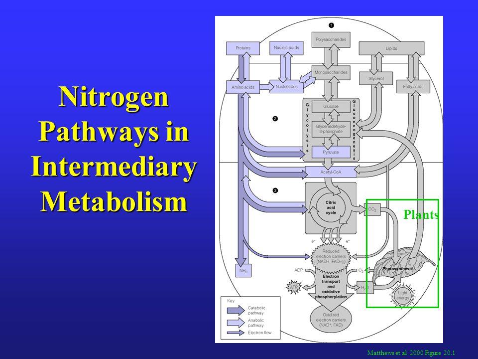 Nitrogen Pathways in Intermediary Metabolism