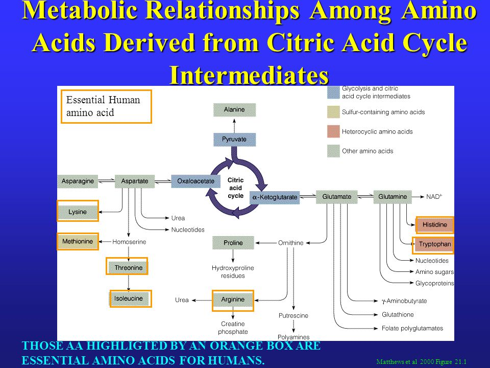 Metabolic Relationships Among Amino Acids Derived from Citric Acid Cycle Intermediates