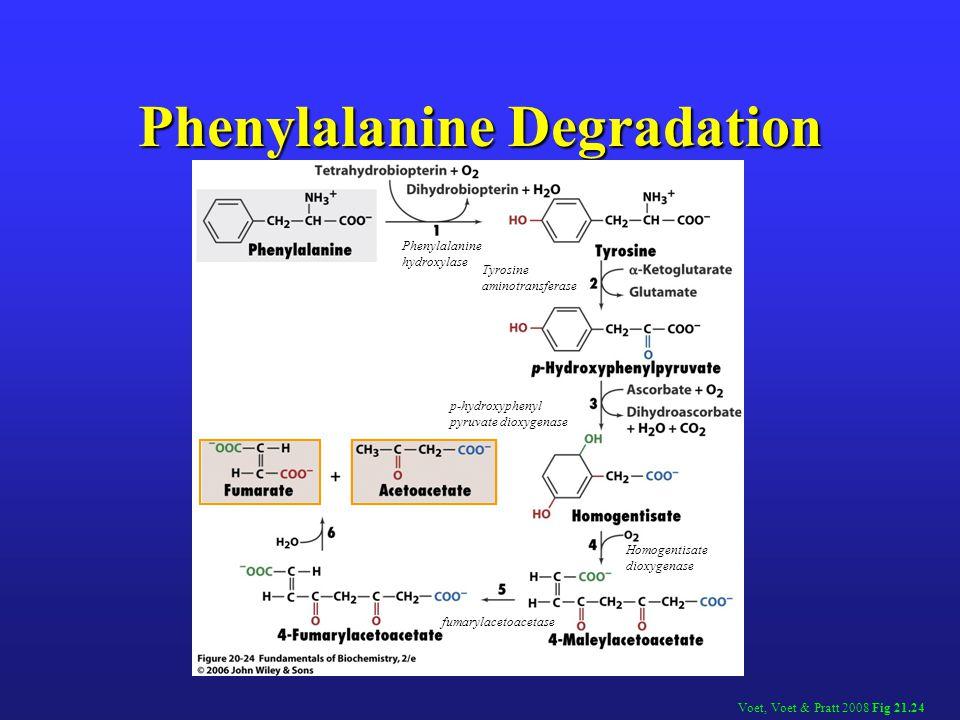 Phenylalanine Degradation