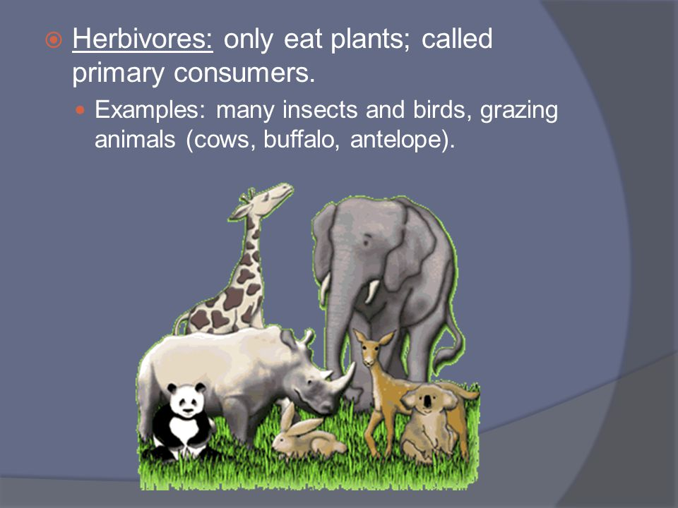 Herbivores: only eat plants; called primary consumers.