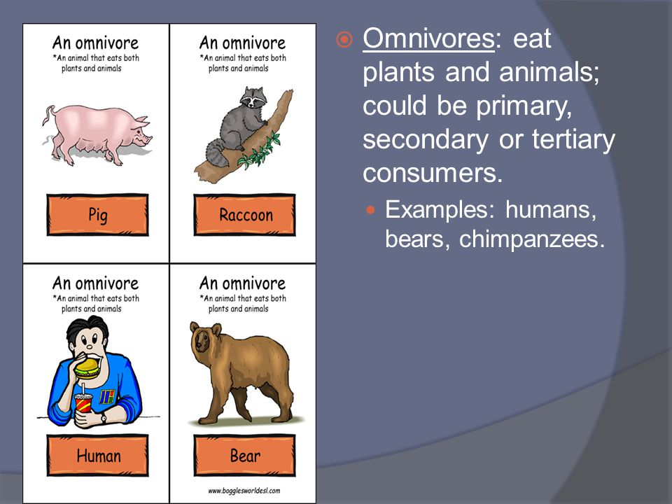 Omnivores: eat plants and animals; could be primary, secondary or tertiary consumers.