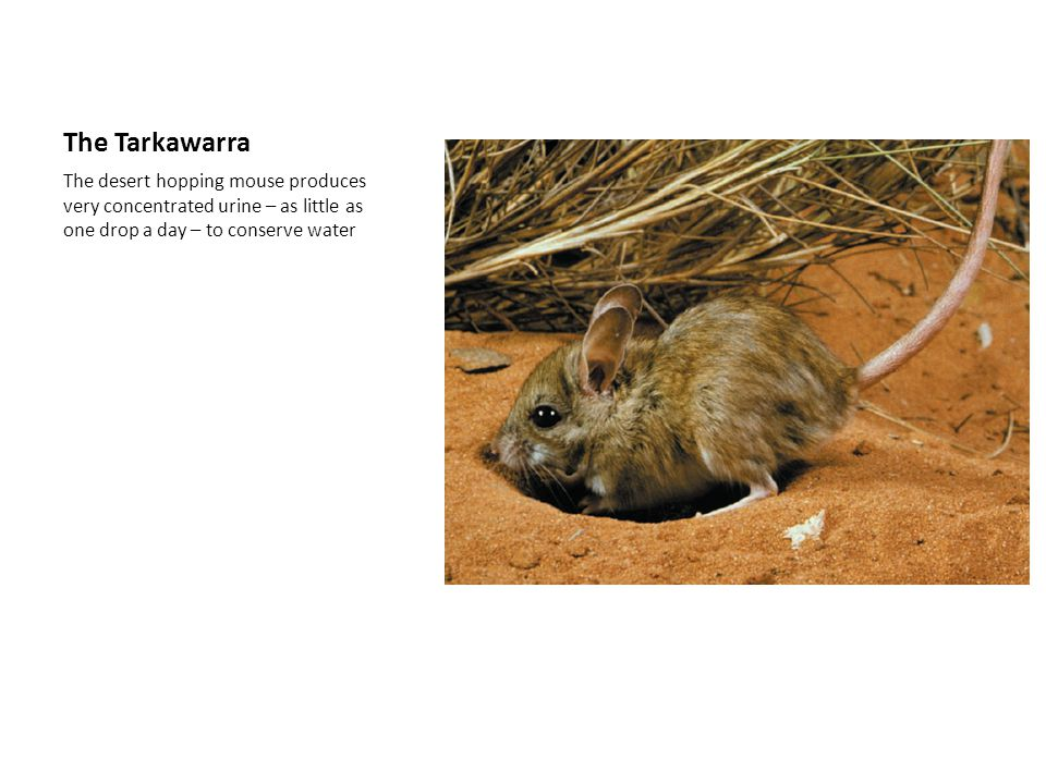 The Tarkawarra The desert hopping mouse produces very concentrated urine – as little as one drop a day – to conserve water.