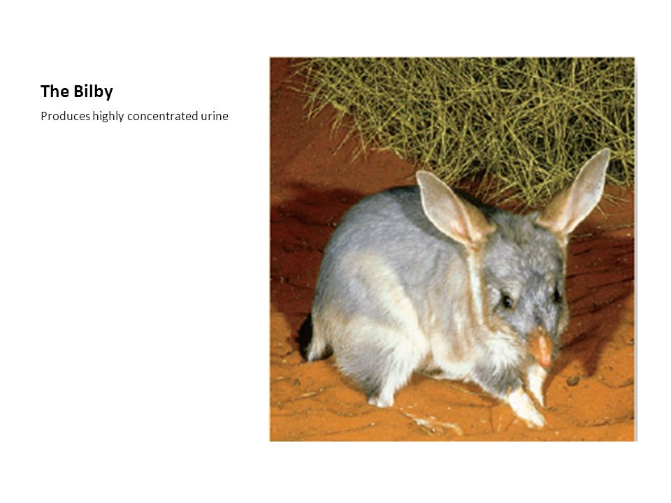 The Bilby Produces highly concentrated urine