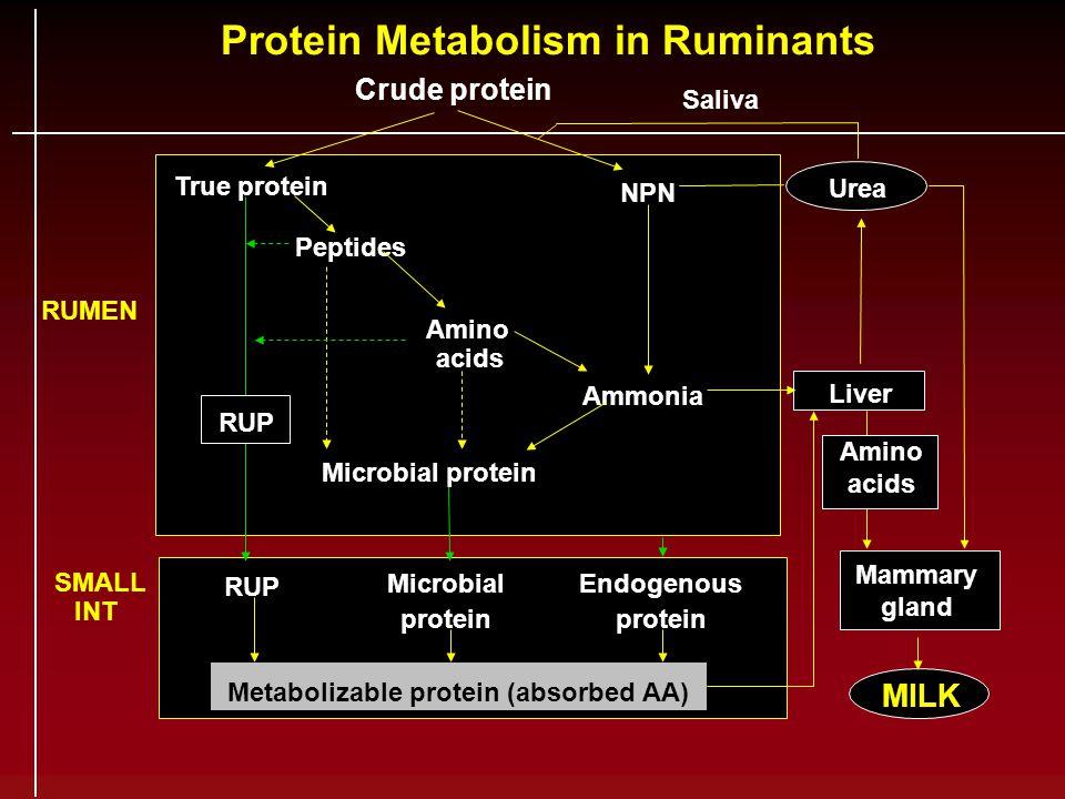 Protein Metabolism in Ruminants