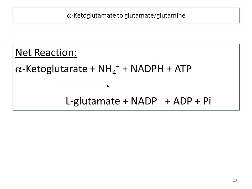 a-Ketoglutamate to glutamate/glutamine
