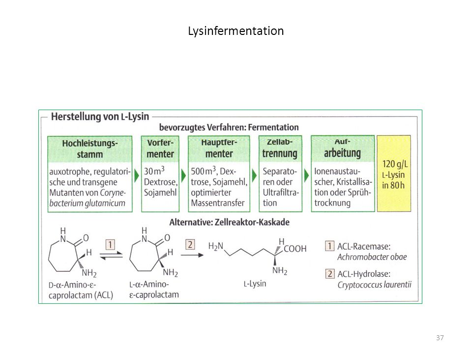 Lysinfermentation