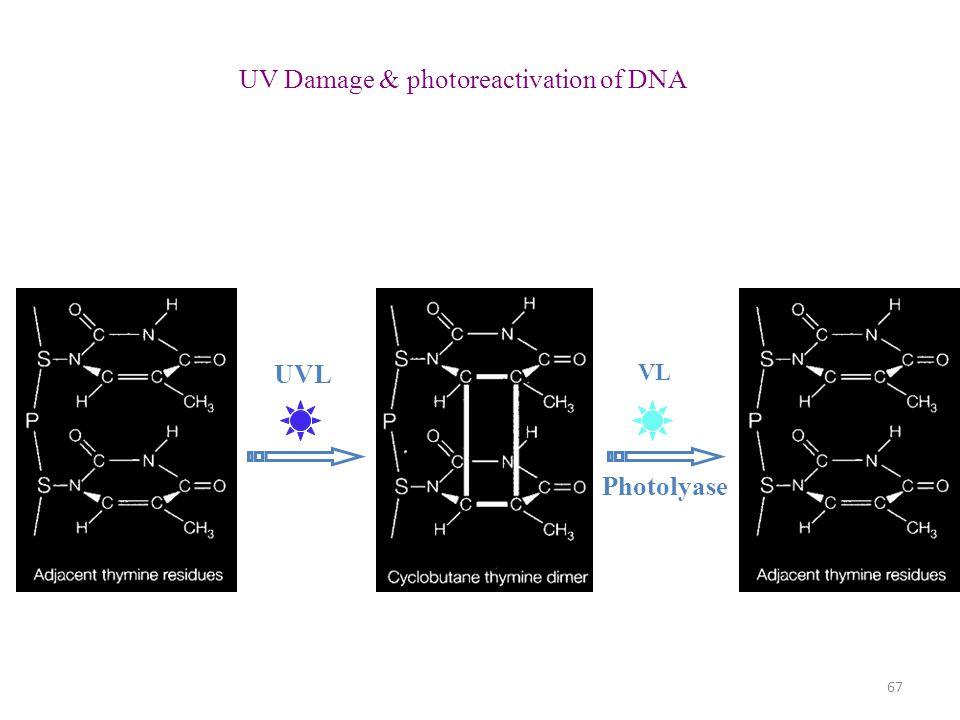 UV Damage & photoreactivation of DNA