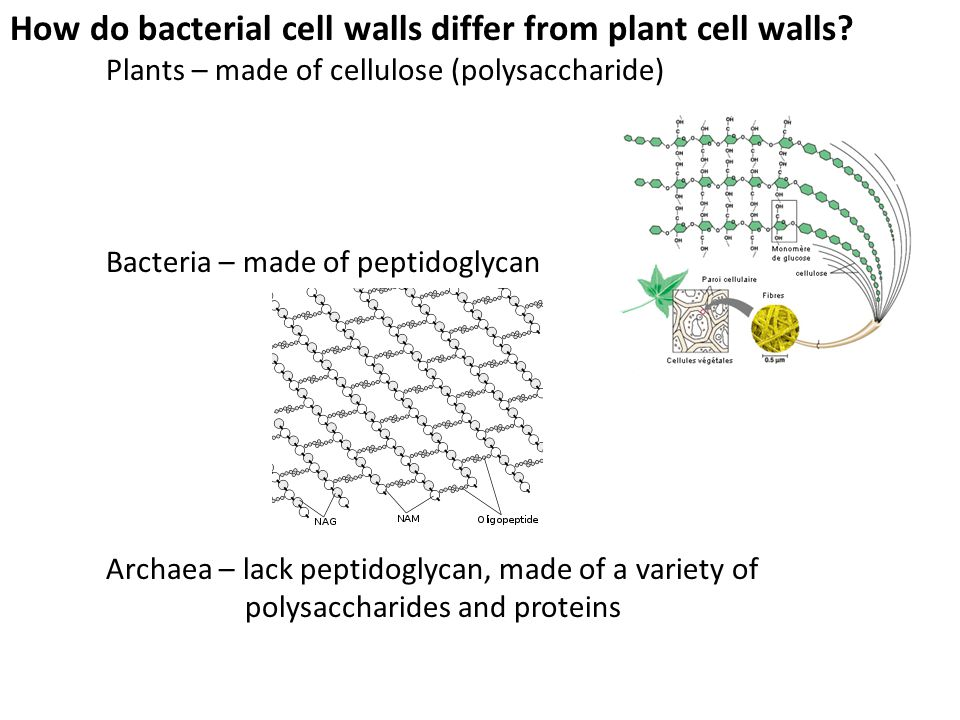 How do bacterial cell walls differ from plant cell walls