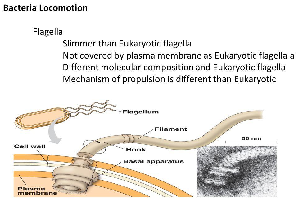 Bacteria Locomotion Flagella. Slimmer than Eukaryotic flagella.