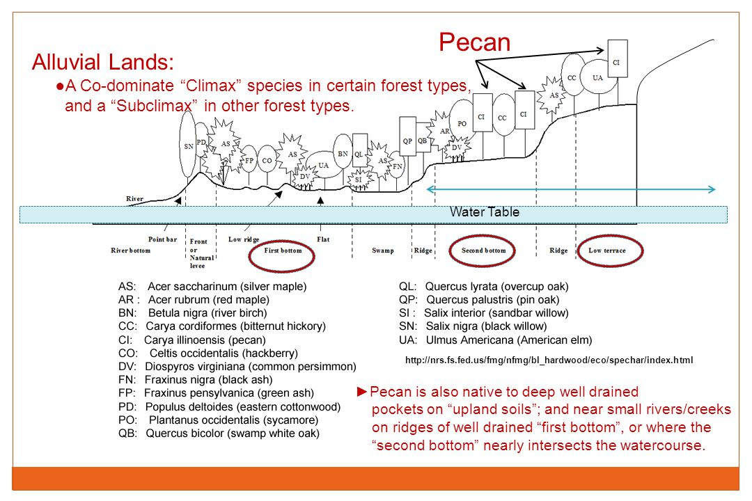 Pecan Alluvial Lands: ●A Co-dominate Climax species in certain forest types, and a Subclimax in other forest types.