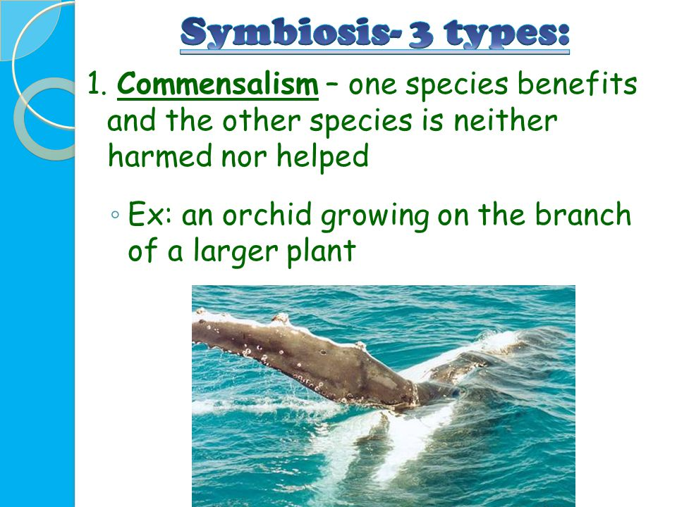 Symbiosis- 3 types: 1. Commensalism – one species benefits and the other species is neither harmed nor helped.