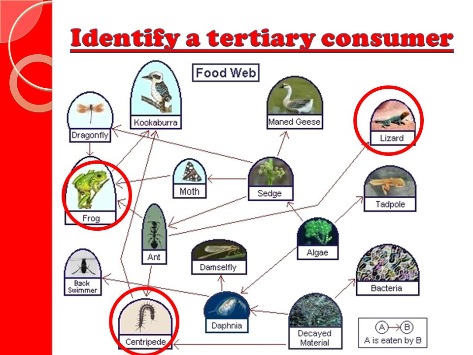 Identify a tertiary consumer