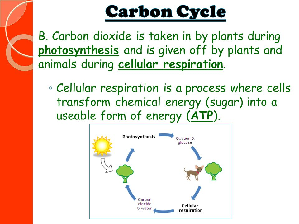 Carbon Cycle B. Carbon dioxide is taken in by plants during photosynthesis and is given off by plants and animals during cellular respiration.