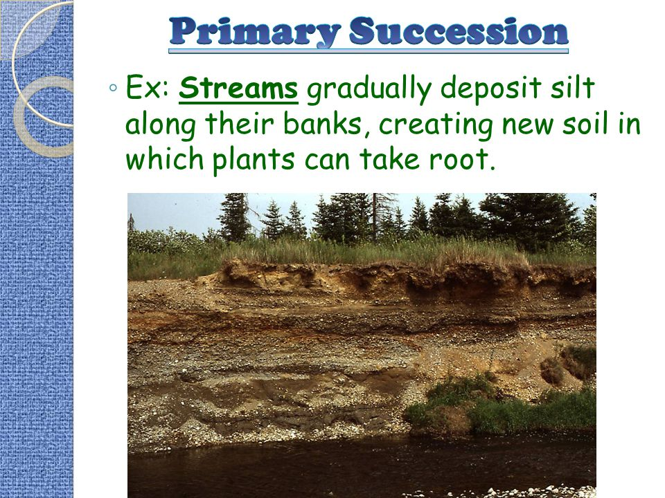 Primary Succession Ex: Streams gradually deposit silt along their banks, creating new soil in which plants can take root.