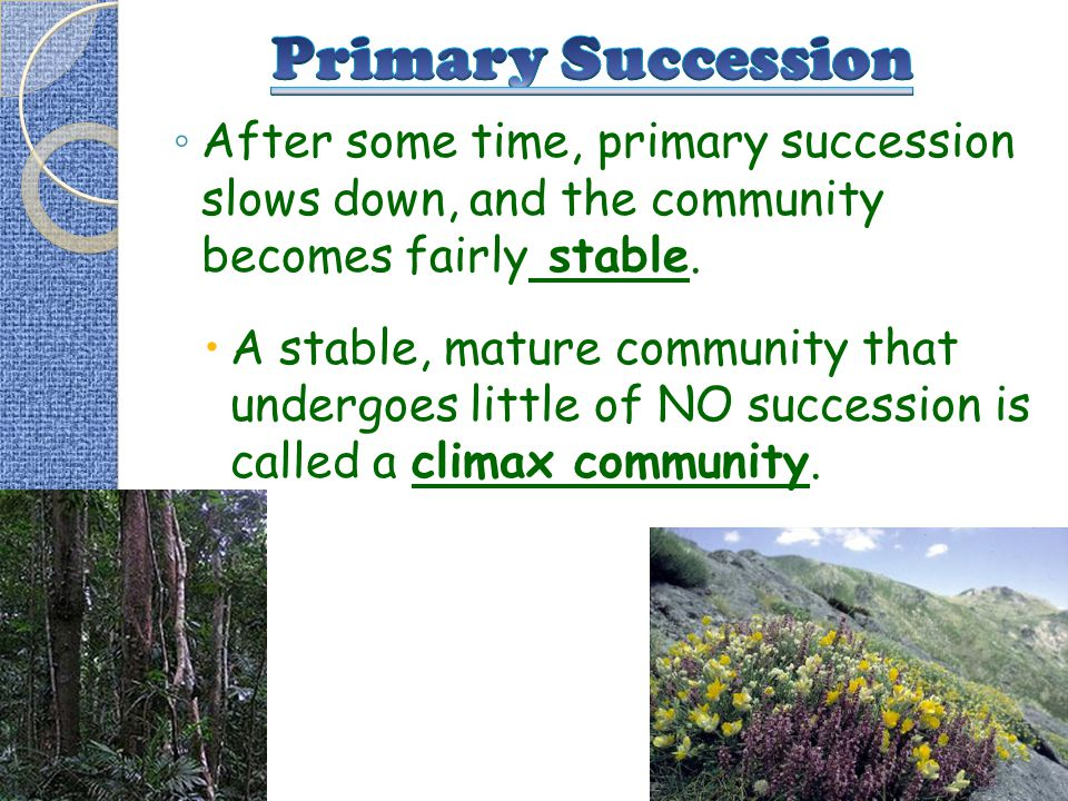 Primary Succession After some time, primary succession slows down, and the community becomes fairly stable.