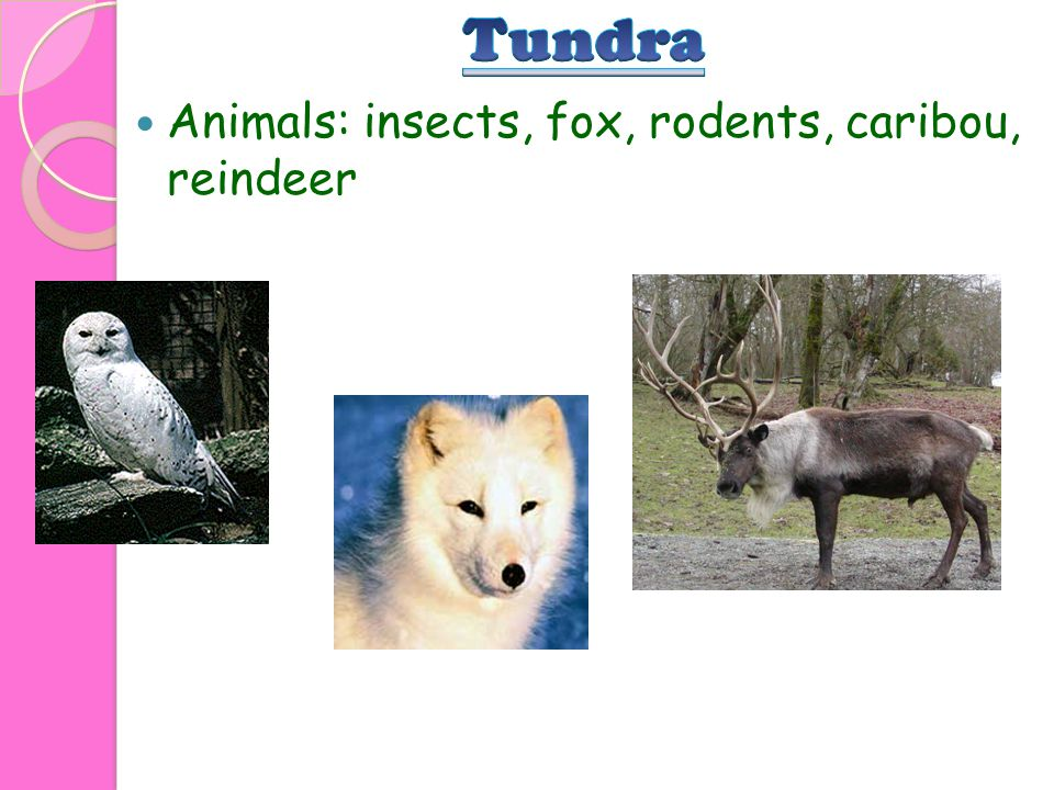 Tundra Animals: insects, fox, rodents, caribou, reindeer