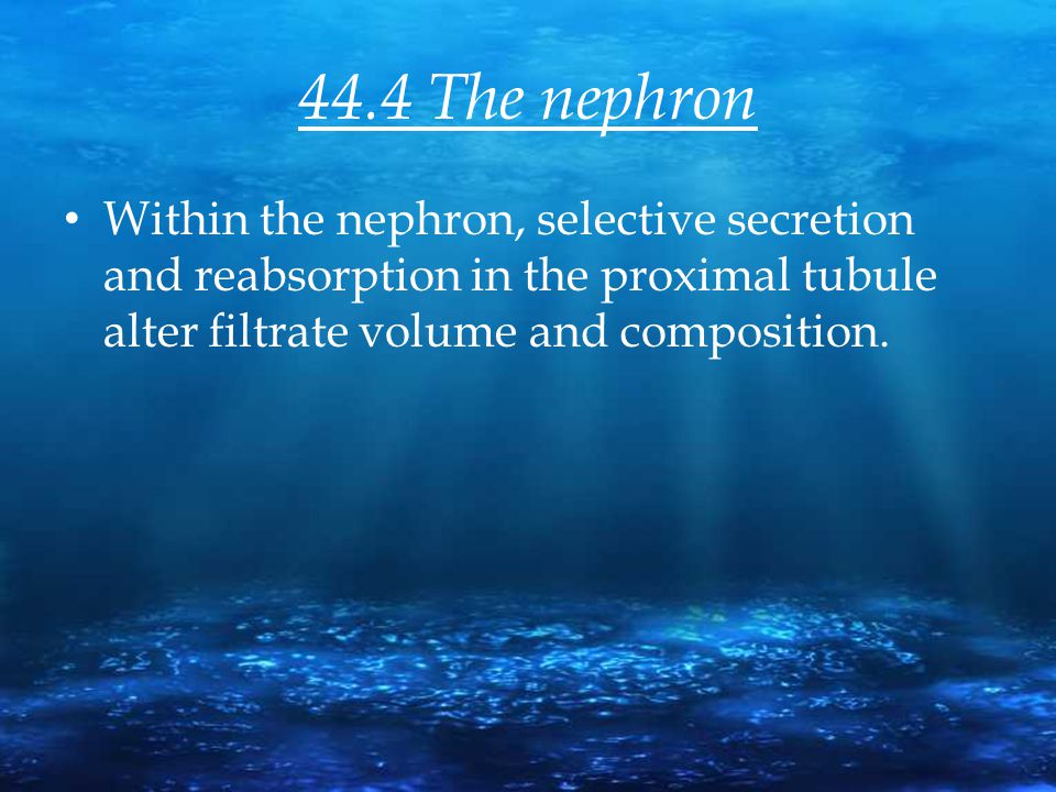 44.4 The nephron Within the nephron, selective secretion and reabsorption in the proximal tubule alter filtrate volume and composition.