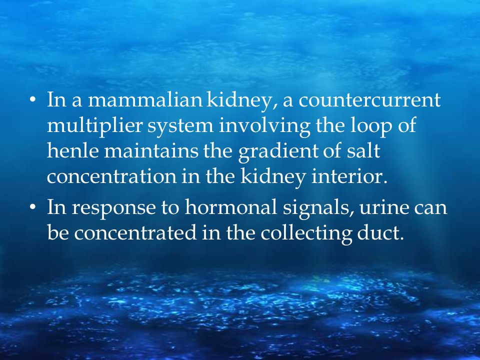 In a mammalian kidney, a countercurrent multiplier system involving the loop of henle maintains the gradient of salt concentration in the kidney interior.