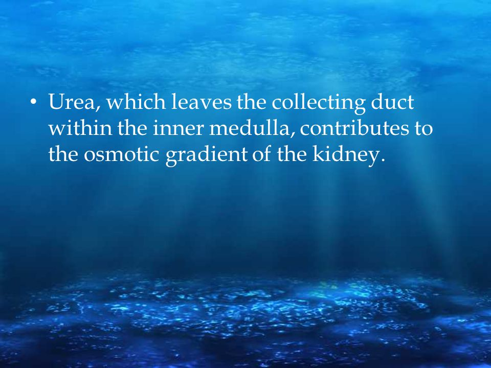 Urea, which leaves the collecting duct within the inner medulla, contributes to the osmotic gradient of the kidney.