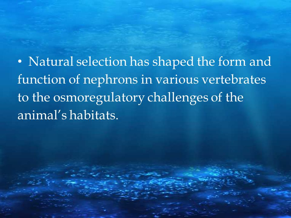 Natural selection has shaped the form and function of nephrons in various vertebrates to the osmoregulatory challenges of the animal's habitats.