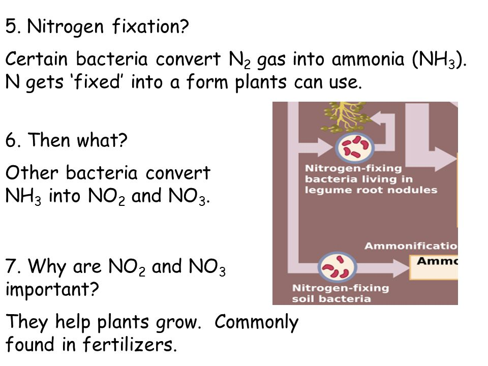5. Nitrogen fixation Certain bacteria convert N2 gas into ammonia (NH3). N gets 'fixed' into a form plants can use.