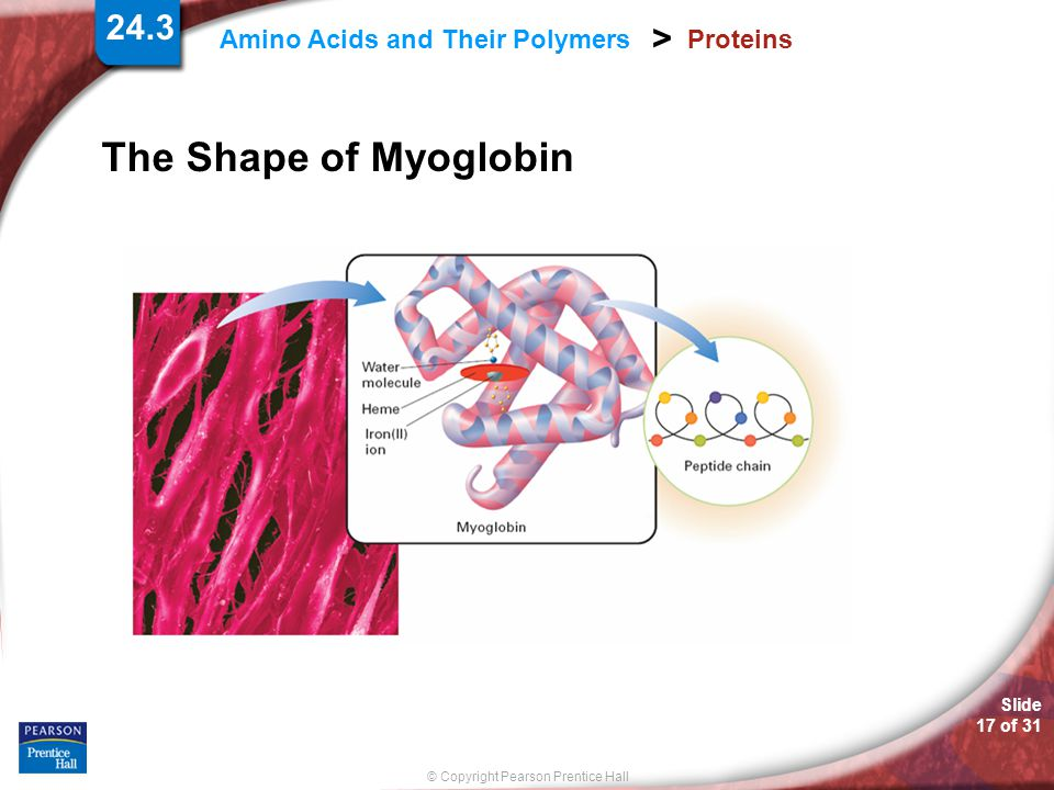 The Shape of Myoglobin Proteins