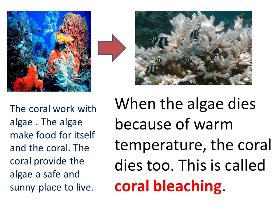 When the algae dies because of warm temperature, the coral dies too