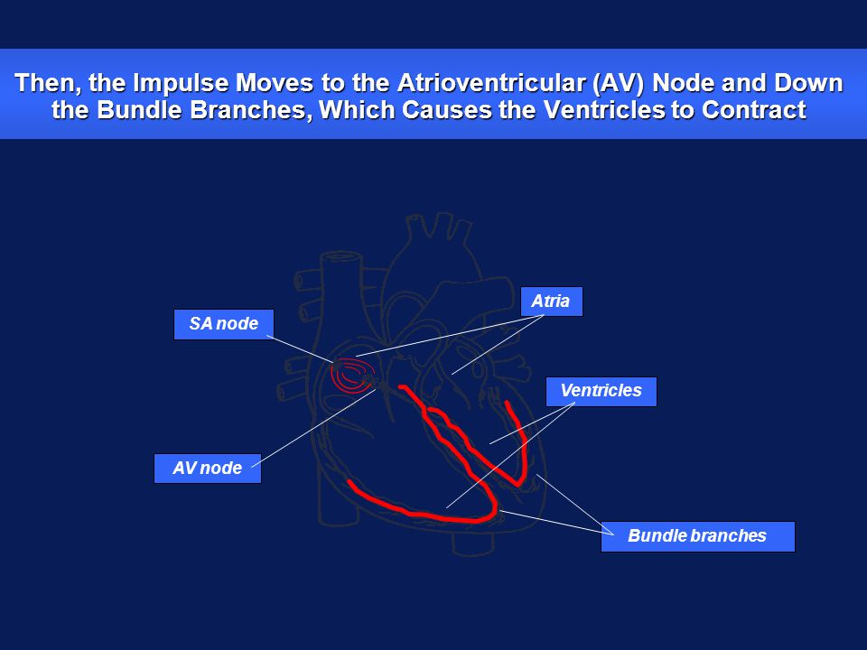 Then, the Impulse Moves to the Atrioventricular (AV) Node and Down the Bundle Branches, Which Causes the Ventricles to Contract