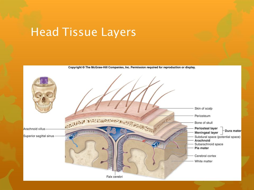 Head Tissue Layers