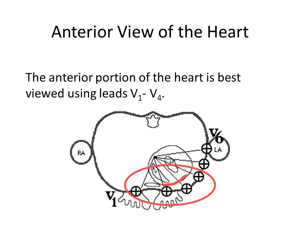 Anterior View of the Heart