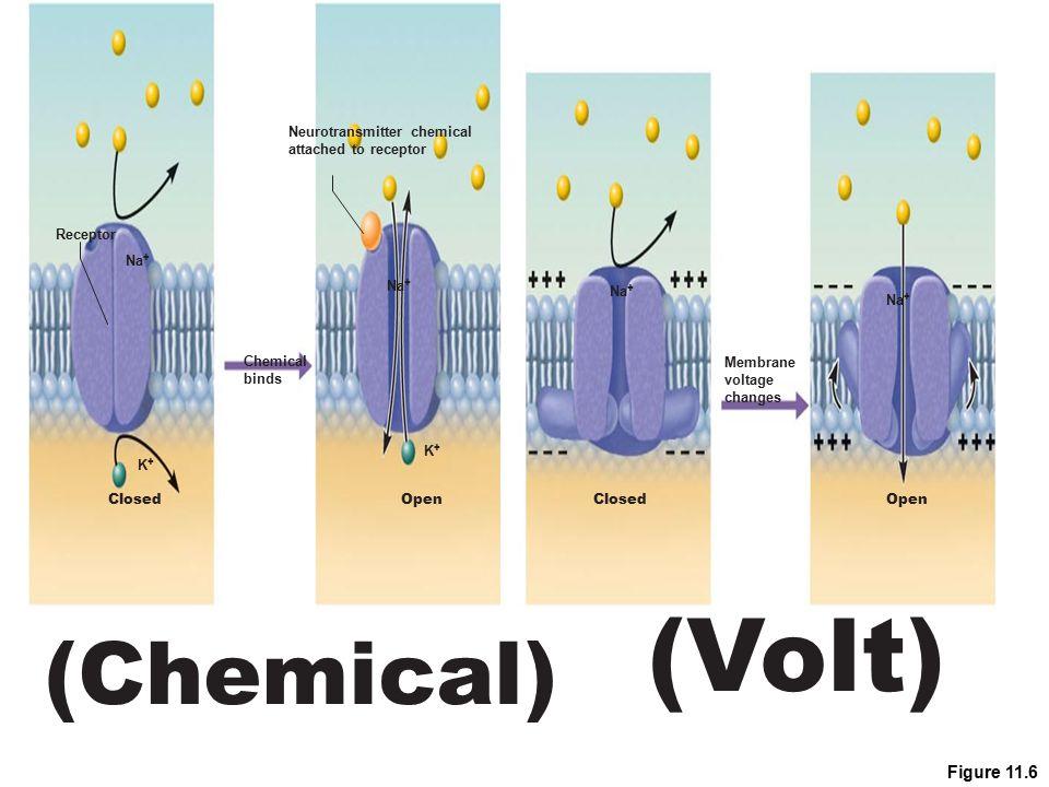 (Volt) (Chemical) Figure 11.6 Neurotransmitter chemical