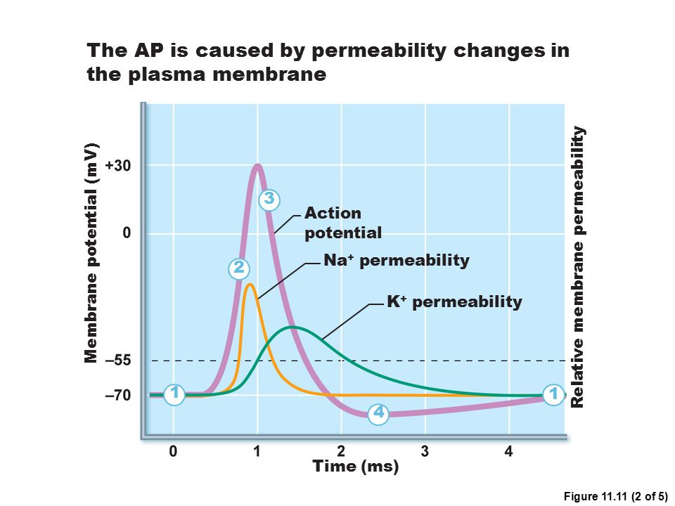 The AP is caused by permeability changes in the plasma membrane