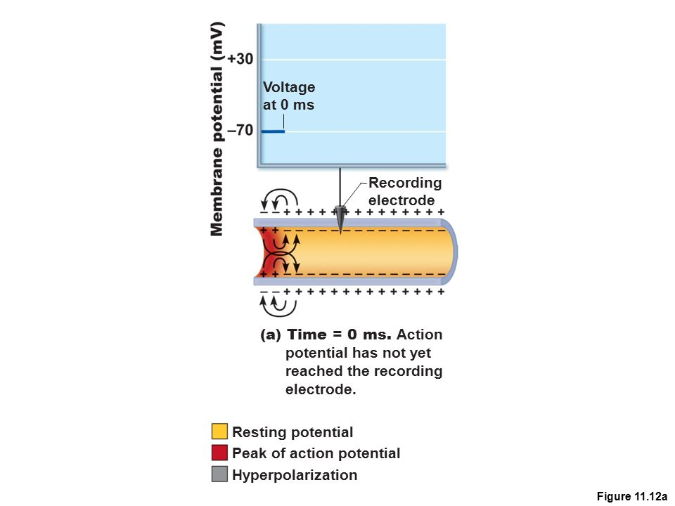 Peak of action potential Hyperpolarization