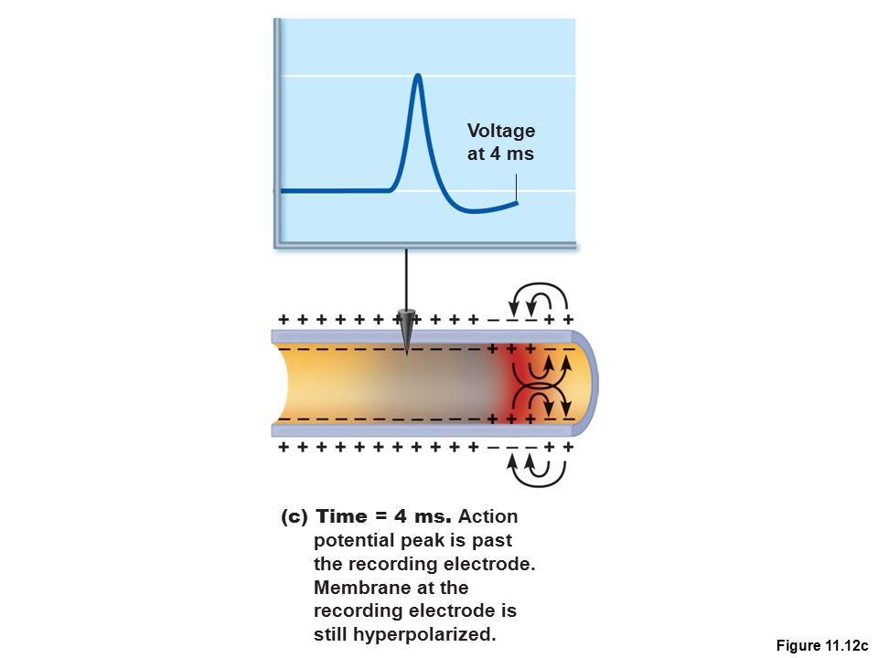 the recording electrode. Membrane at the recording electrode is