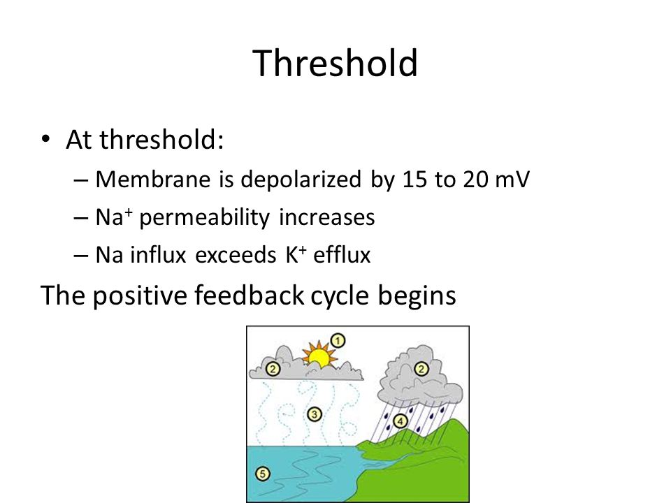 Threshold At threshold: The positive feedback cycle begins