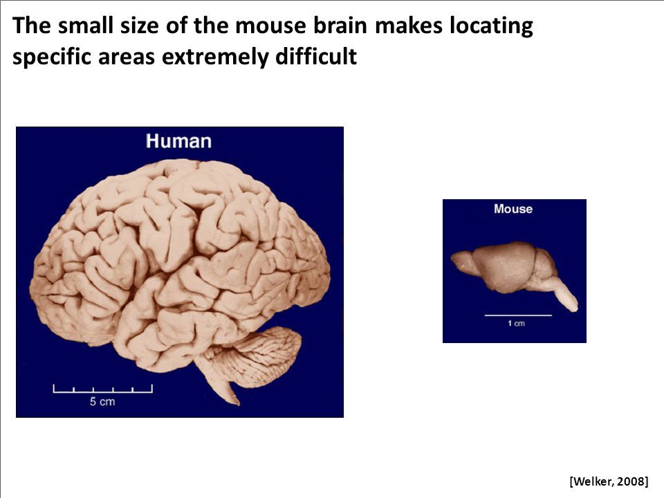 The small size of the mouse brain makes locating specific areas extremely difficult