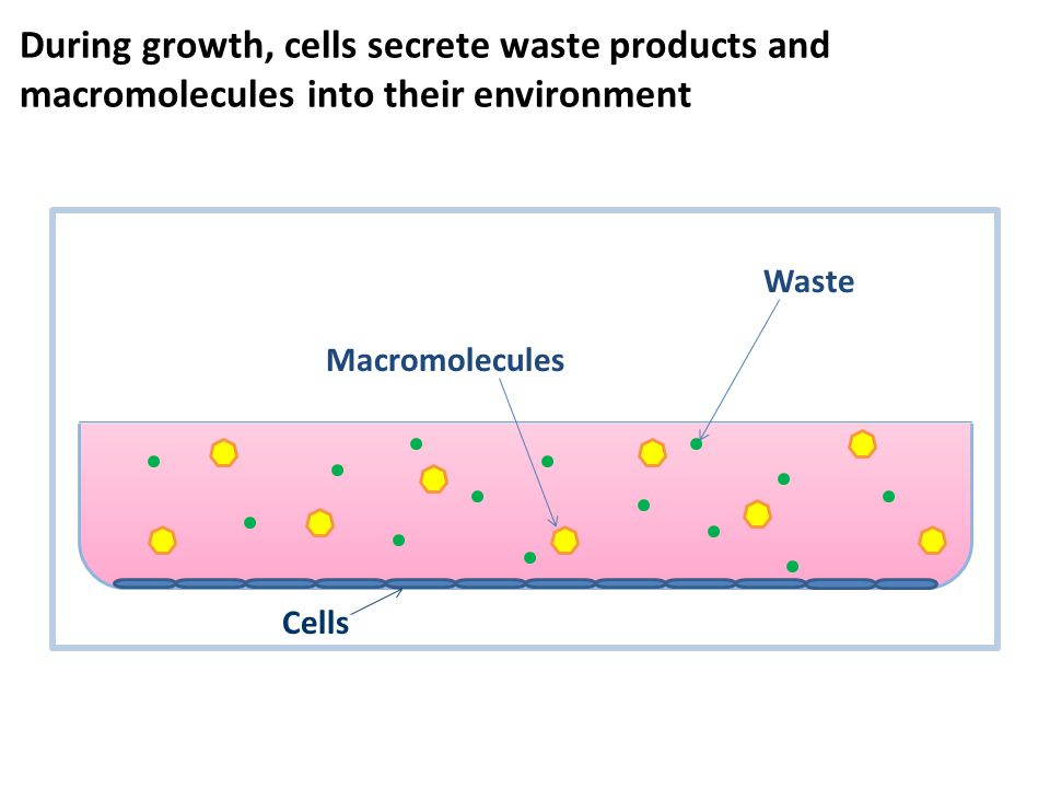 During growth, cells secrete waste products and macromolecules into their environment