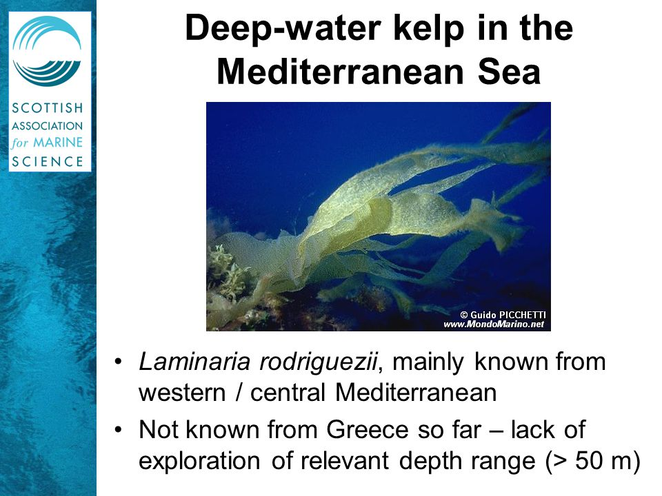 Deep-water kelp in the Mediterranean Sea