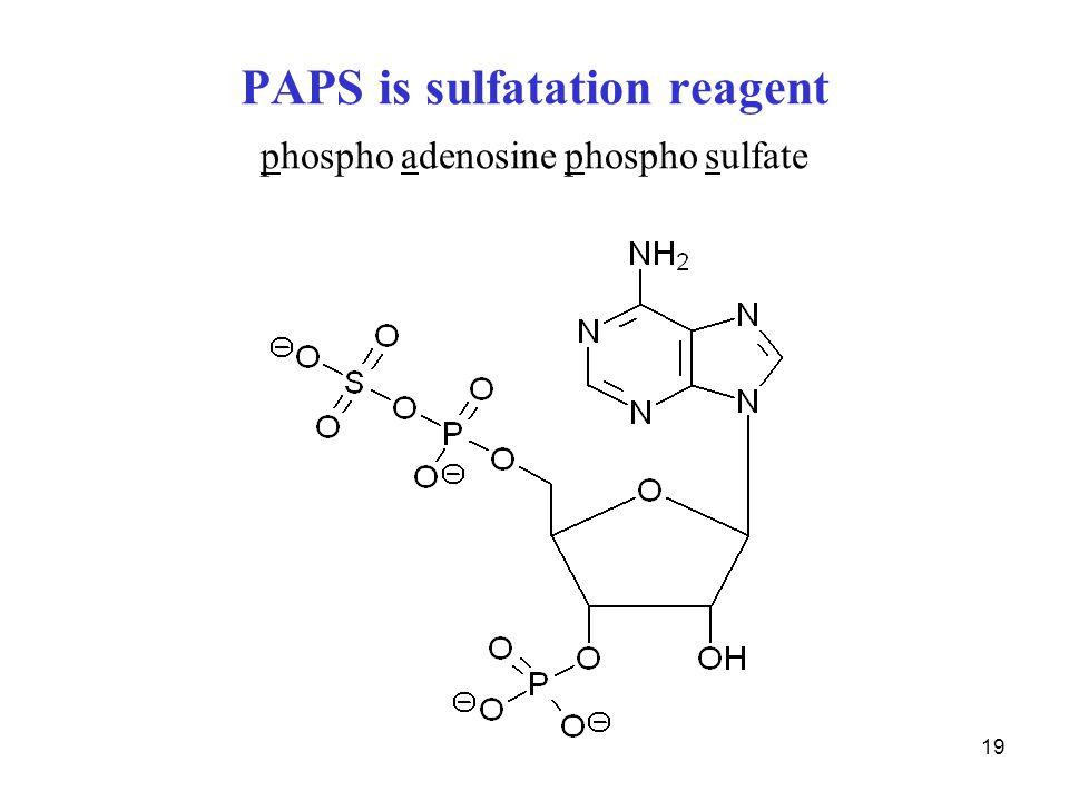 PAPS is sulfatation reagent phospho adenosine phospho sulfate