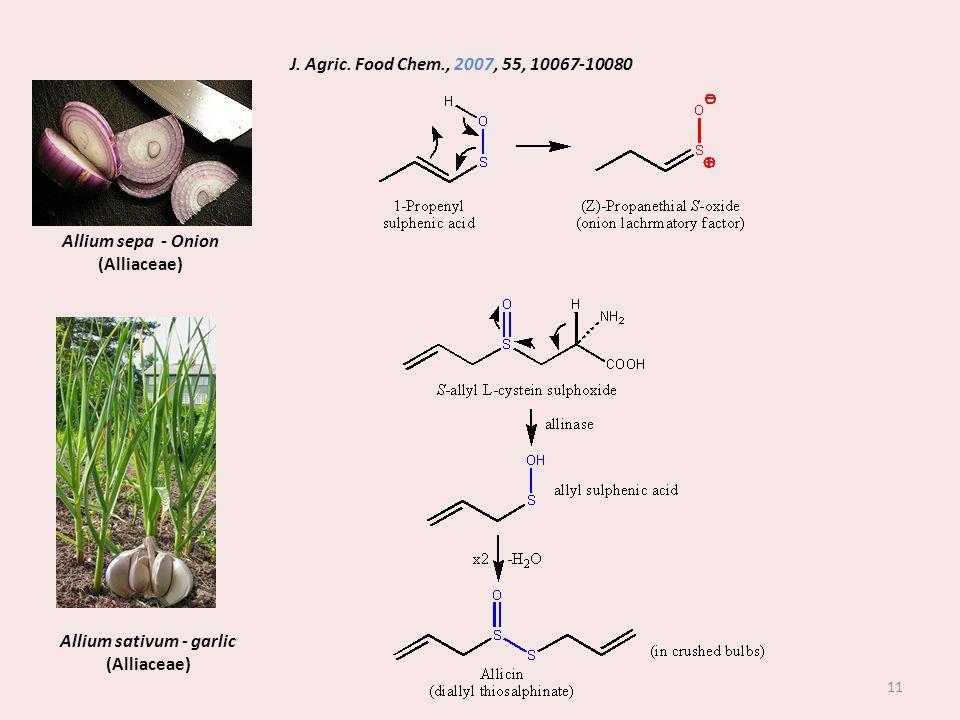 Allium sativum - garlic