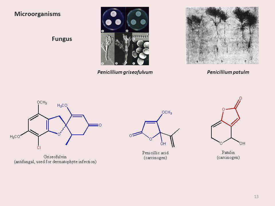 Penicillium griseofulvum