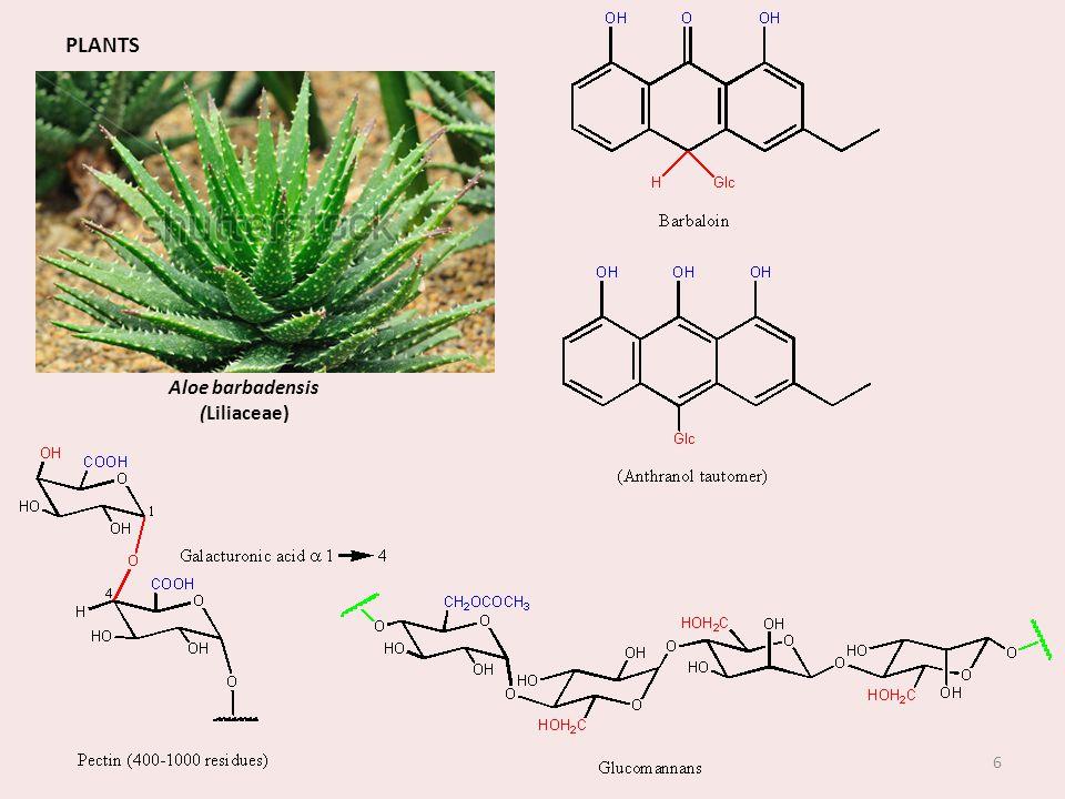 Aloe barbadensis (Liliaceae)