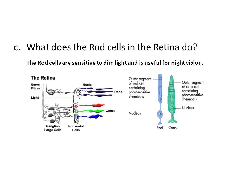 What does the Rod cells in the Retina do