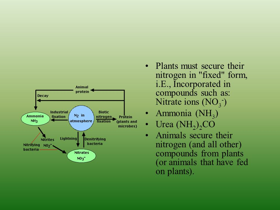 Plants must secure their nitrogen in fixed form, i. E