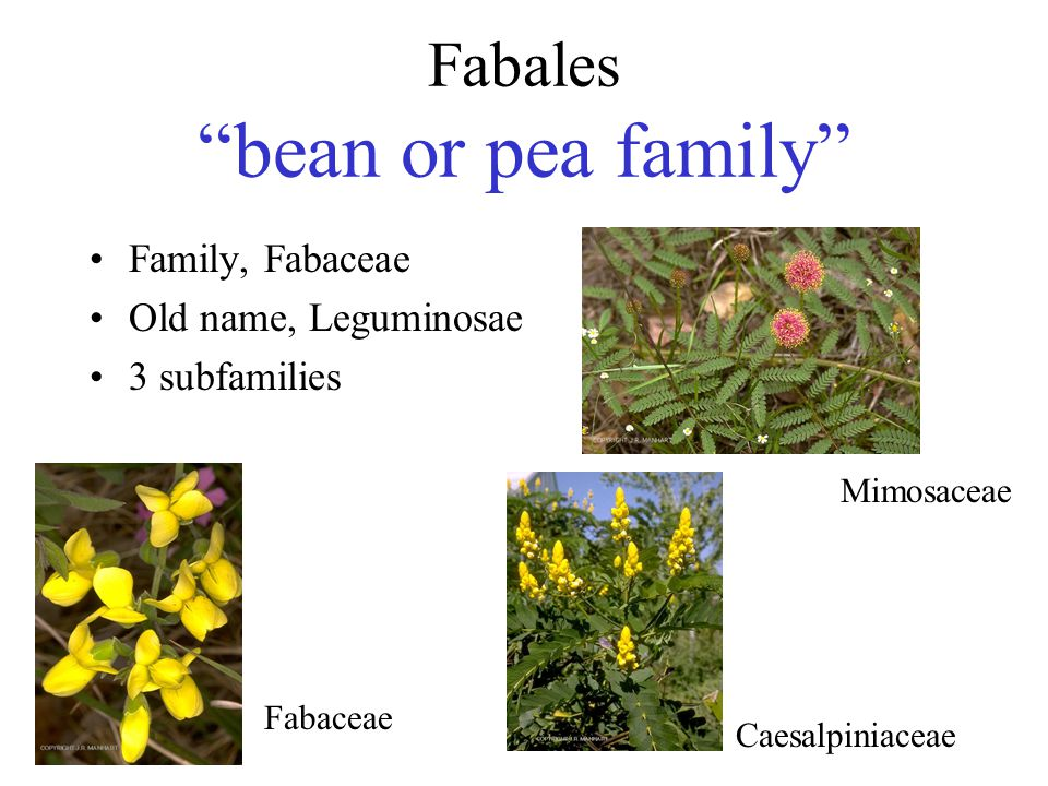 Fabales bean or pea family
