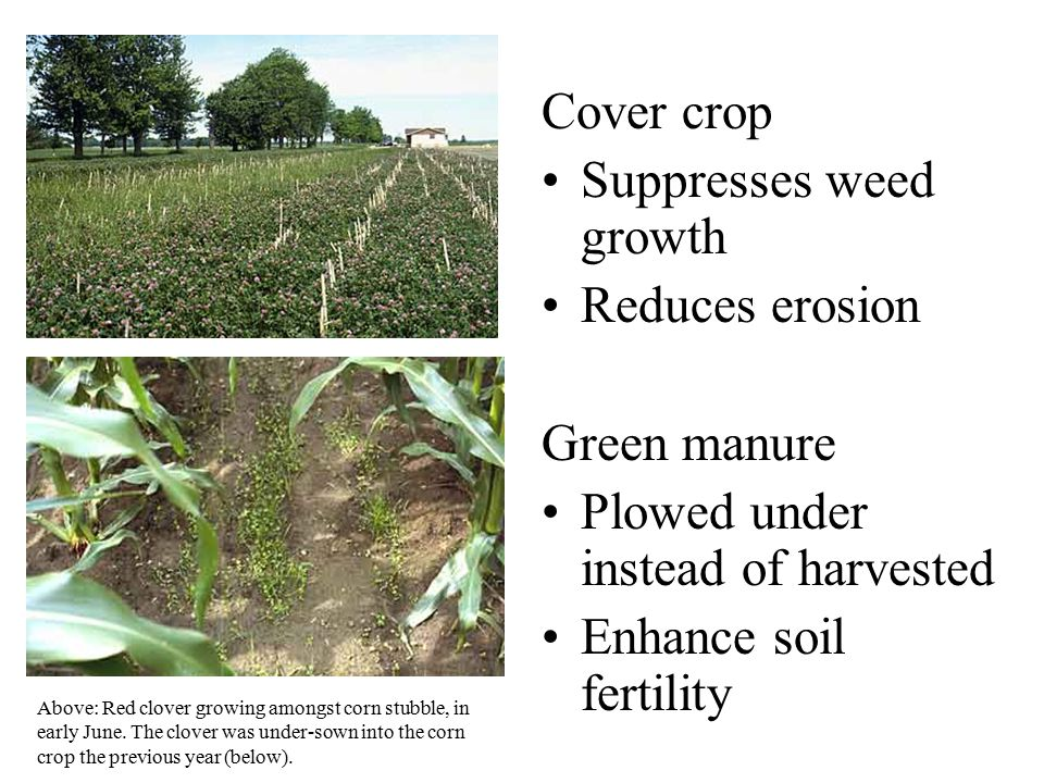 Suppresses weed growth Reduces erosion Green manure