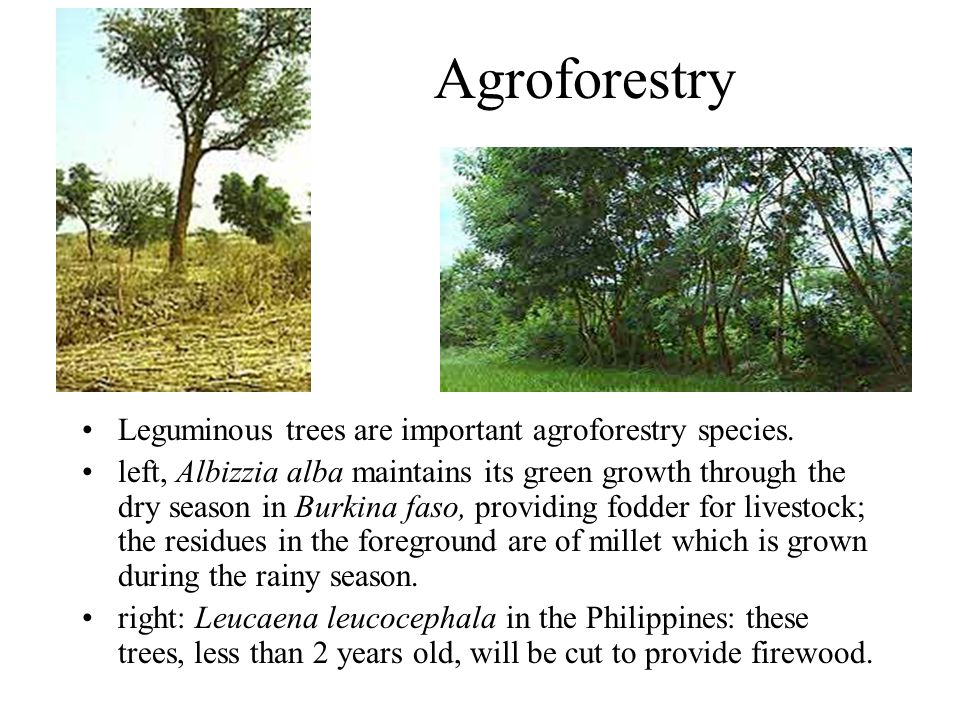 Agroforestry Leguminous trees are important agroforestry species.