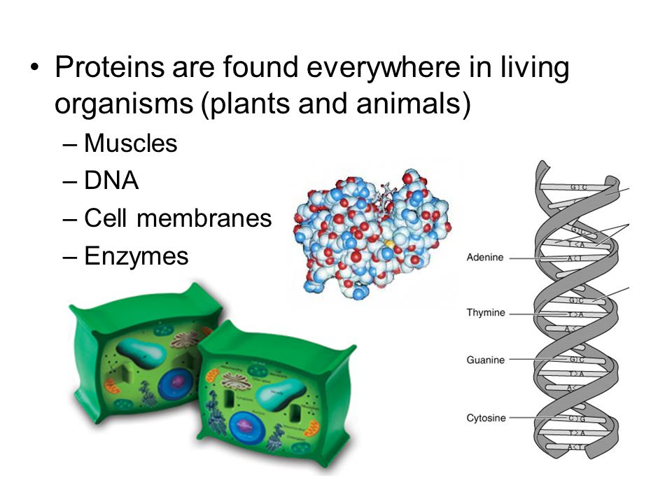 Proteins are found everywhere in living organisms (plants and animals)