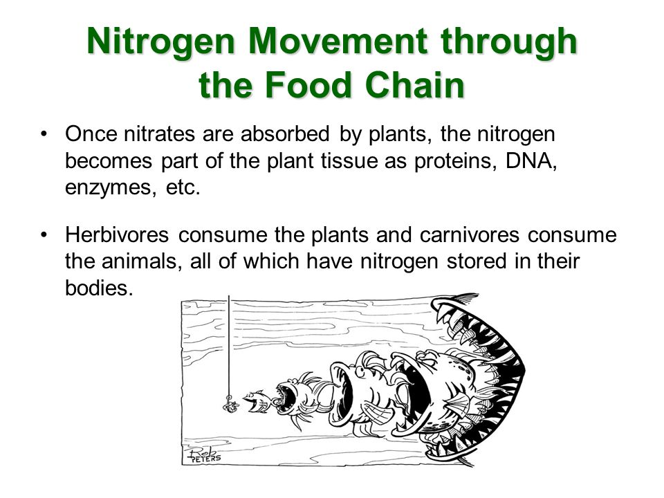 Nitrogen Movement through the Food Chain